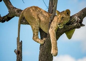 Keňa - opravdové safari