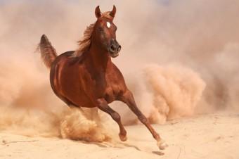Arabský plnokrevník_zdroj_Shutterstock