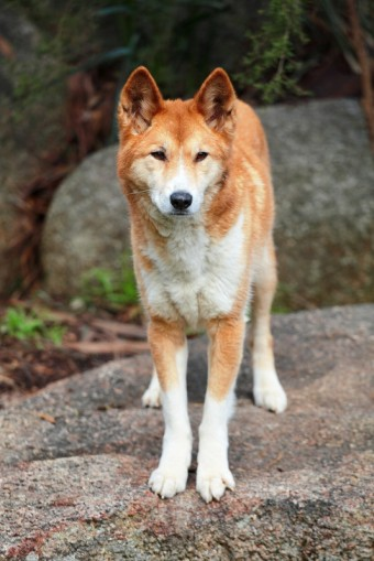 Pes Dingo_zdroj_Shutterstock