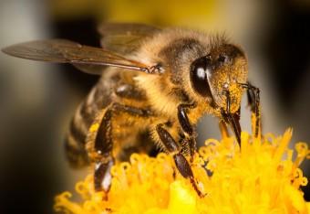 Včela medonosná, Zdroj: Shutterstock