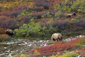 Three grizzly bears in tundra, foto: Jan Miřacký