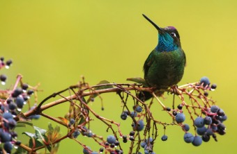 Kolibřík skvostný, Panama, foto: Petr Bambousek