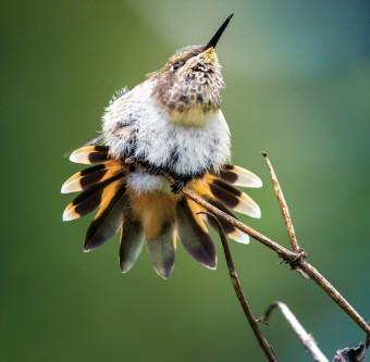 Kolibřík vulkánový, Panama, foto: Petr Bambousek