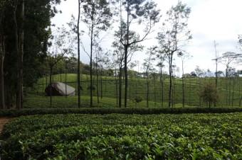 Čajové plantáže, Žofia na Srí Lance, zdroj: Exclusive Tours