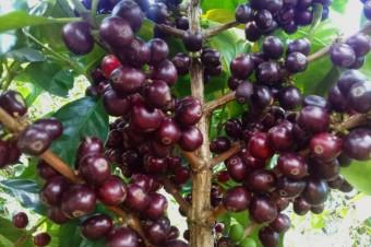 Sběr plodů kávovníku, foto zdroj: Nespresso