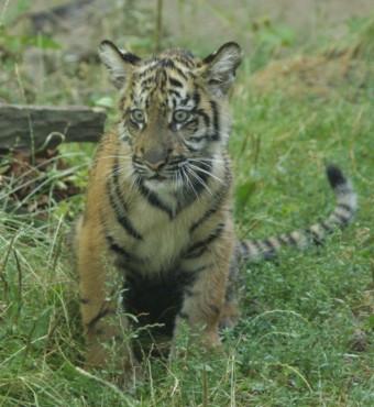 Tygr sumaterský, foto: ZOO Jihlava